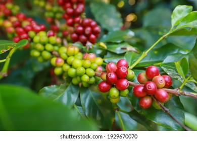 organic arabica coffee beans agriculturist  in farm.harvesting Robusta and arabica  coffee berries by agriculturist hands,Worker Harvest arabica coffee berries on its branch, harvest concept.