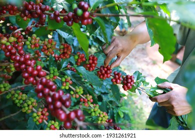 organic arabica coffee beans agriculturist  in farm.harvesting Robusta and arabica  coffee berries by agriculturist hands,Worker Harvest arabica coffee berries on its branch, harvest concept.