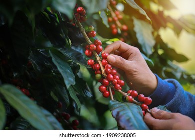 organic arabica coffee with farmer harvest in farm.harvesting Robusta and arabica  coffee berries by agriculturist hands,Worker Harvest arabica coffee berries on its branch, harvest concept.