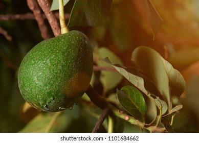 Organic avocado fruit close-up ready to harvest