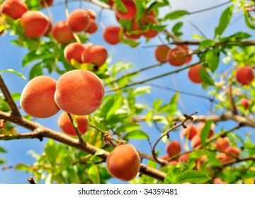Organic Babcock Peaches