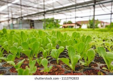 Organic baby cos in garden