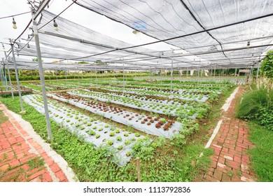 Organic baby salad in garden