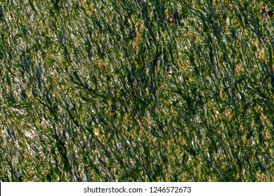 Organic background image. Seaweed and green algae close-up. Rock covered in slimy sea vegetation. Photosynthesis and chorophyll in primitive plant growth.