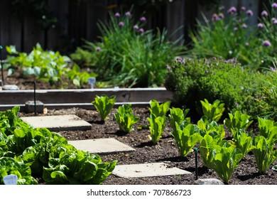 Organic backyard garden with lettuce