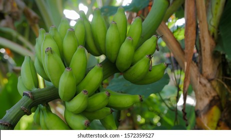 Organic banana bunch on the tree