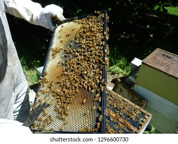Organic Beekeeping in New Zealand - man in beekeeper suit holding a bee hive frame covered in honeybees