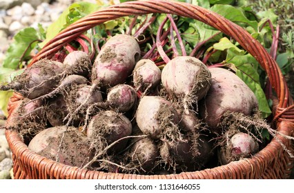 Organic beetroot from rural permaculture in a wicker basket. Home country garden.