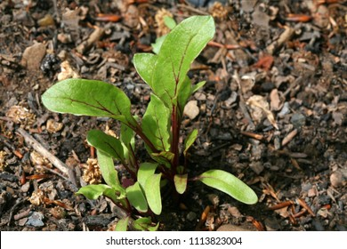 Organic Beetroot Seedling growing in back garden