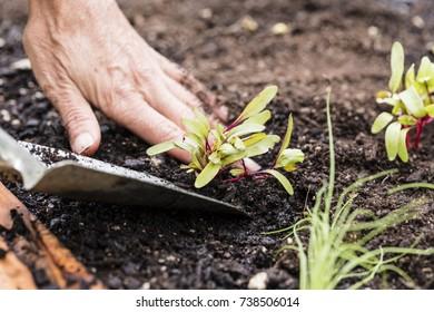 Organic Beetroot seedling/ planting organic beetroot seedling in a raised garden bed