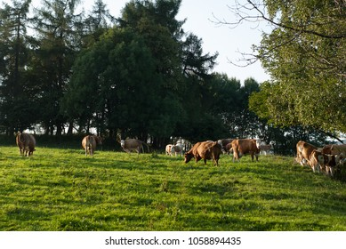 Organic bio cows grazing on natural meadow at sunset