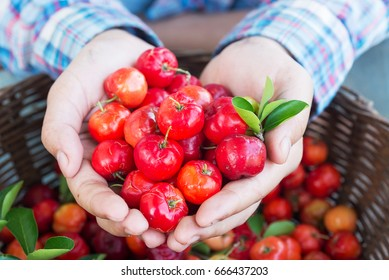 Organic Brazilian Acerola Cherry in farmer hands.