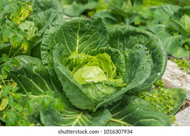 Organic cabbage growing in a garden.