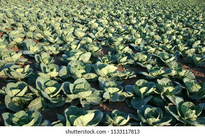 Organic cabbage production, cultivated field