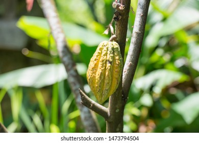 Organic Cacao Pod (theobroma cacao) growing in Nature.