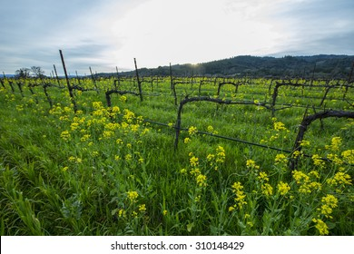Organic California wine grape vineyard with cover crop of yellow mustard between the rows, providing nutrients to the soil.
