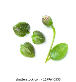 Organic capers on white. Caper plant, green leaves, bud and flower
