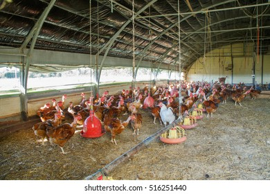 Organic capon chicken breeding in their shelters