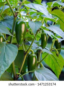 Organic jalapeño (Capsicum annuum) peppers on a jalapeno plant. Close-up photo.