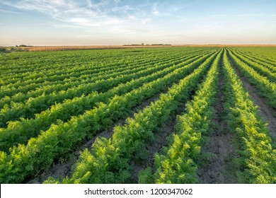Organic carrot at cultivated field