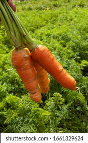 Organic carrot produced in Lagoa Seca, Paraiba, Brazil on July 11, 2007. Family farming without the use of pesticides.