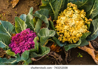 Organic Cauliflower showing yellow and purple