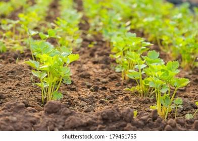 Organic celery grow on good siol