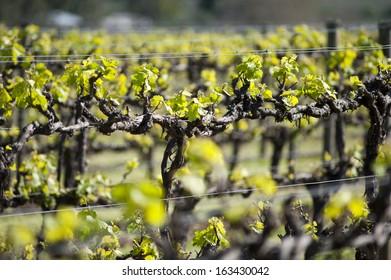 Organic Chardonnay vineyard in McLaren Vale, Australia