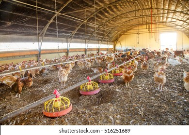 Organic chicken breeding in their shelters