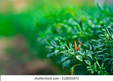 Organic Chilli or pepper plantation in farm garden. Red and green chillies fruit is organic plant on blurred background in field of farmer. It good safety for healthy for cooking food