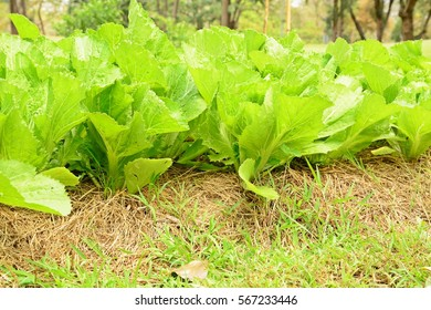 organic Chinese Mustard Green vegetable farming
