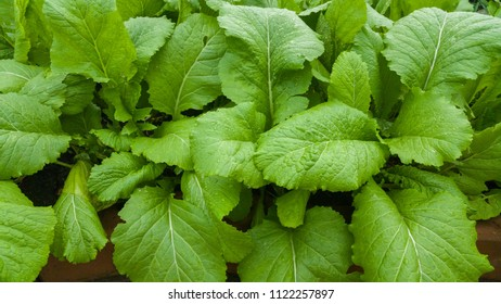 organic chinese mustard in the house garden use for background