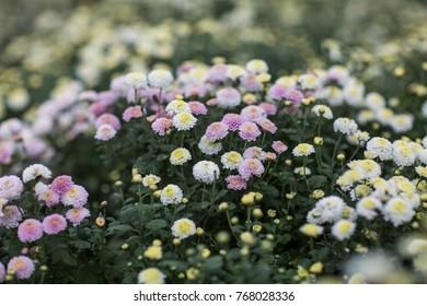 Organic Chrysanthemum Blossom in Tongluo, Miaoli County of Taiwan. White and yellow florist's Daisy.