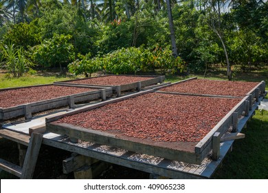 Organic cocoa beans sun drying on a farm in the Solomon Islands