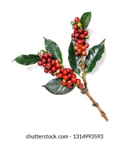Organic Coffee Beans with Coffee Leaves isolated on white background