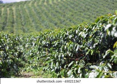 Organic Coffee Farm, Coffee Plantation In Colombia