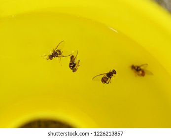 Organic Control of fruit fly. Queensland male fruit flies (Bactrocera tryoni) floating in water inside a pheromone trap, top down view. Eco-friendly pest control.