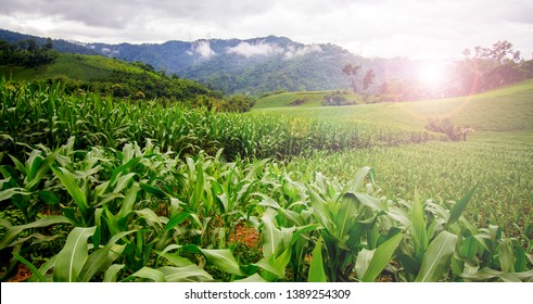 Organic corn field or maize in cornfield of farm, It agriculture farm on mountain,  Agricultural landscape