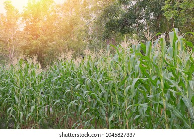 Organic corn field in with sunlight.