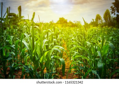 Organic corn or maize in cornfield of farm on sky blue or azure sky and cloud. It agriculture farm on mountain sunset. It safety corn to food for people. It growing and harvest on farmland in country