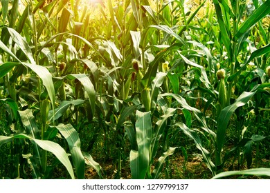 Organic corn or maize in cornfield of farm on blue sky.corn field in sunset, organic farm, harvest season, corn crop planting.