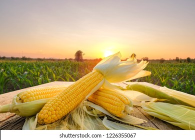 organic corn on wooden table beside corn field at agriculture farm in the morning sunrise.