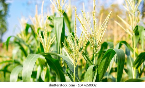 Organic cornfield in farmland on blue sky background. It is sweet corn agriculture in countryside. Sometime corn as know as maize.