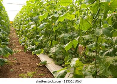 Organic cucumber growing in a greenhouse