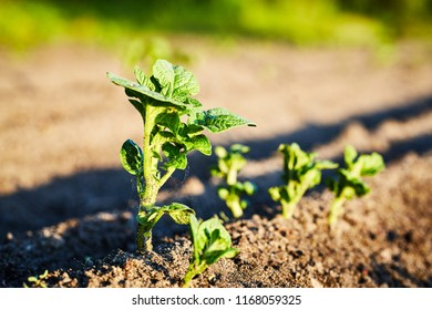 Organic cultivation of potatoes.. The green shoots of young potato plants sprouting from the soil in the spring.