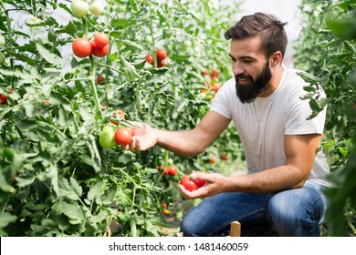 Organic farmer checking his tomatoes in a hothouse
