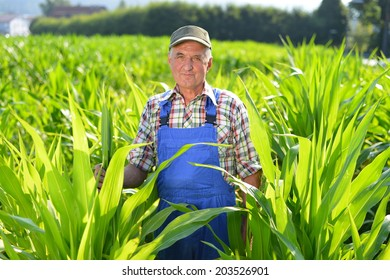 Organic Farmer looking at sweetcorn in a field. Model is real farm worker