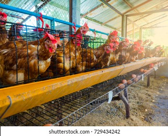 Organic Farming and feeding chicken in the farm. Chickens will be fed for time and drop egg in the rails. The process no chemical involved. Eggs sold to consumers for safety and good nutrition.