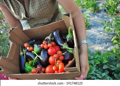 Organic farming, harvesting of vegetables. Basket with tomatoes and eggplant.