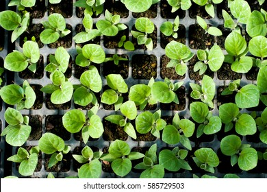 Organic farming, seedlings growing in greenhouse.